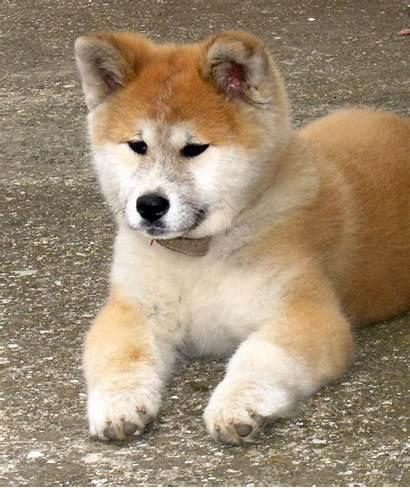 Akita Inu Puppy Puppies Dog Japanese Rest