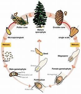 9  21  Gymnosperm Life Cycle