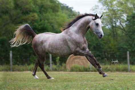 horse arabian breed grey arabians horses spanish stallions facts bottom kansas foals lover rogers missouri