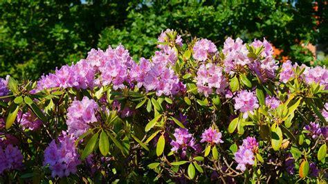 Blattkaktus Beste Pflege Fuer Eine Schoene Bluete by Rhododendron Richtige Pflege F 252 R Eine Sch 246 Ne Bl 252 Te