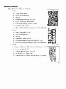 Anatomy  Muscular System Quiz Study Guide Part 1