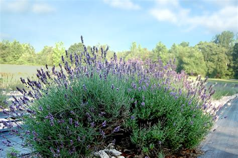 does lavender grow in florida sunshine lavender farm time to prune the lavender