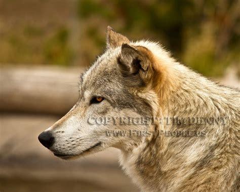 wolf photographs  tim denny oneida nation photographer