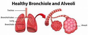 Diagram Showing Healthy Bronchiole And Alveoli