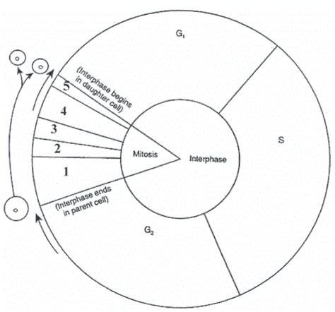 Cell Cycle Diagram Worksheet  Bio 111 Inquiryactive Learning  Pinterest  Diagram, Worksheets