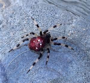 Red Spider with White Spot On Back