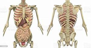 Torso Skeleton With Internal Organs Front And Back Stock