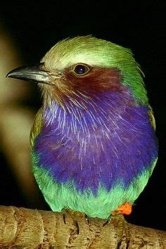 Lilac-breasted Roller Bird