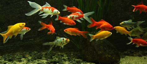 Koi Goldfische Graskarpfen Fische Fuer Den Gartenteich by Fische F 252 R Gartenteich Teichfische Arten F R Den