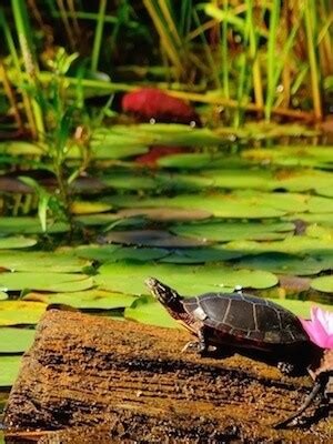 outdoor garden ponds    care   turtle