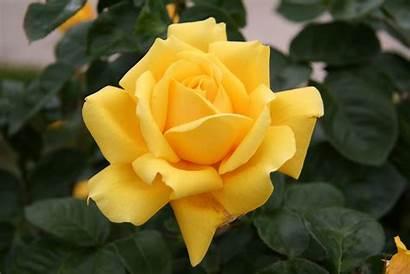 Rose Gina Lollobrigida Roses Rosa Yellow Garden