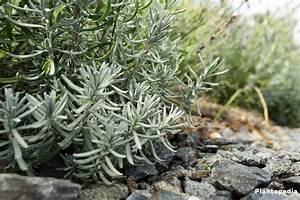Lavendel Pflanzen Im Topf : lavendel lavandula angustifolia pflanzen pflege anleitung plantopedia ~ Frokenaadalensverden.com Haus und Dekorationen