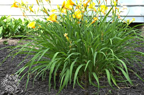 what are hardy perennial plants hardy plants the diy gardener s guide on sutton place