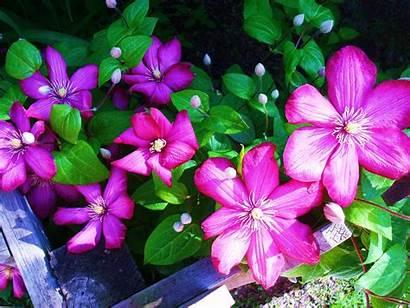 Clematis Flowers Pretty Flower Names Plant Plants