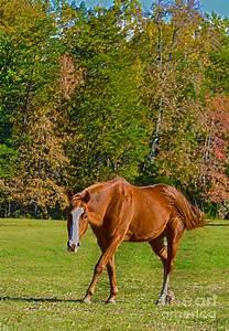 Chestnut Red Horse Photograph by Sandi OReilly