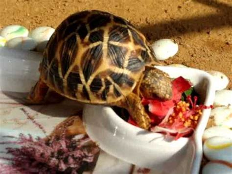star tortoise bella feeding  hibiscus youtube