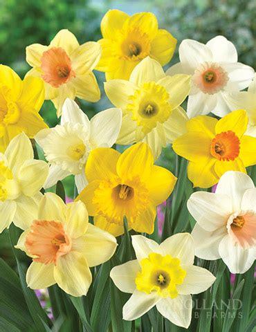 mixed daffodils naturalizing 50 bulbs