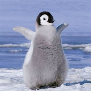 Baby penguin | Animals Everyone Should Have! | Pinterest