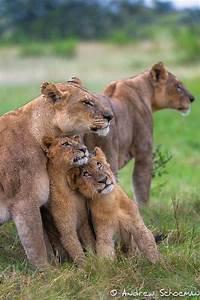 The Wild Hug : family hug lioness and cubs by andrew schoeman animal magnetism pinterest animals ~ Eleganceandgraceweddings.com Haus und Dekorationen