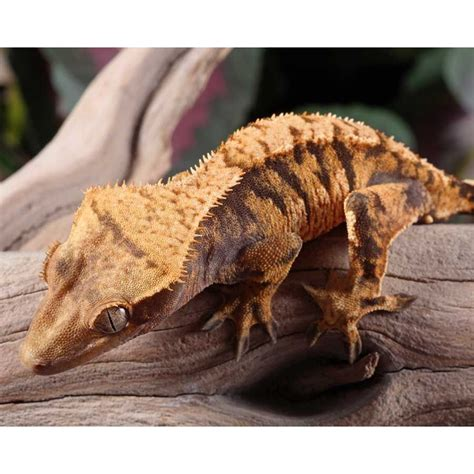 Male Extreme Harlequin Crested Gecko For Sale   Pangea Reptile