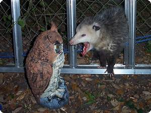 Dumb Possum - How Smart Are Opossums?