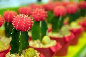 Comment Entretenir Un Cactus : bouture des cactus ooreka ~ Nature-et-papiers.com Idées de Décoration