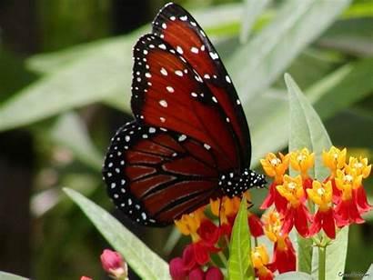 Butterfly Butterflies Wallpapers Flowers Fanpop Colorful Background