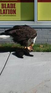Bald eagle spotted eating a black cat on busy city ...