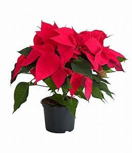 Weihnachtsstern Pflanze Kaufen : weihnachtsstern dehner ~ Michelbontemps.com Haus und Dekorationen