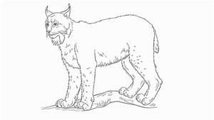 How To Draw Lynx Realistic Art Pencil Drawing Draw
