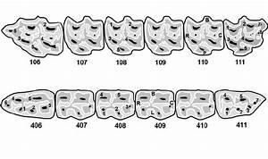 Diagrammatic Representation Of Equine Cheek Teeth And