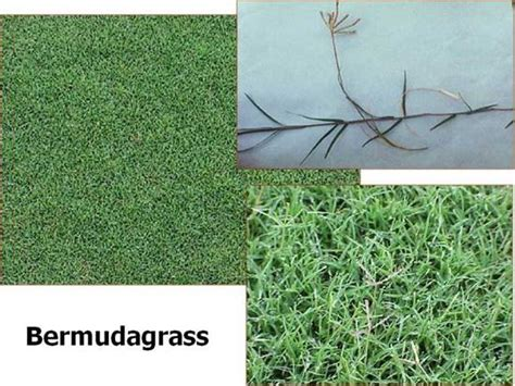 Bell's Seed Store. Unhulled Bermuda Grass Seed