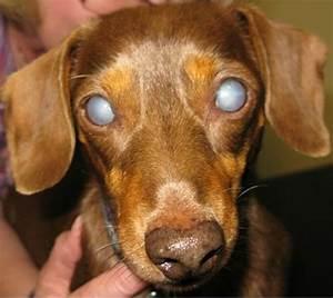 Diabetes Mellitus: Part II - Dogs