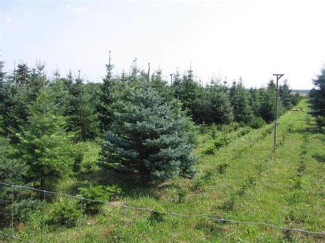 weihnachtsbaum nordmanntanne coloradotanne blaufichte in