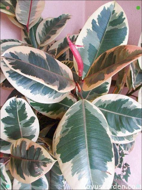 ficus elastica variegata variegated rubber plant  easy care indoor tree ficus elastica