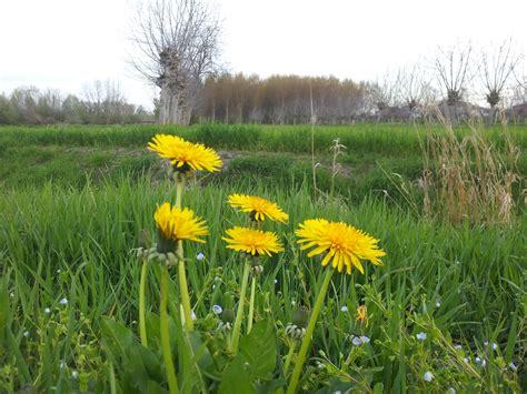 fiori di the tarassaco gianfranco marangoni