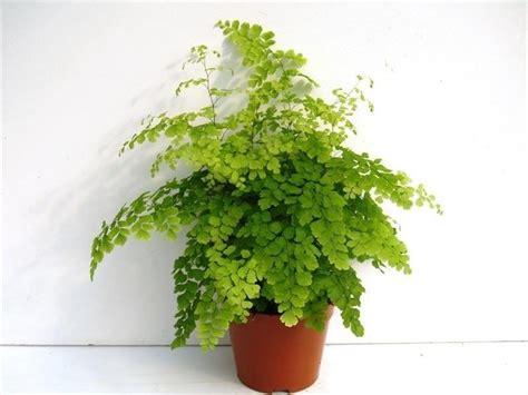 fern house plants adiantum raddianum fragrans fern house plant in a 13cm pot maidenhair fern house plants