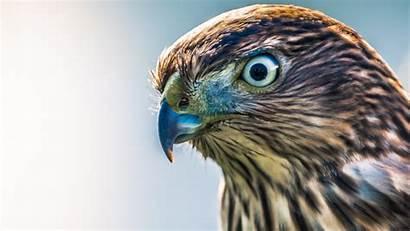 Hawk Hawks Chickens Protect Eyes Close Birds