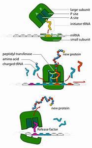 Ribosomes Football Analogy