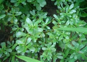 Mauvaise Herbe Du Jardin Comestible by Purslane Gardening Tips 9 Quot Good Quot Weeds Bob Vila