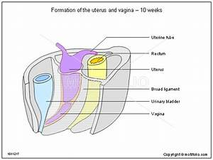 Formation Of The Uterus And Vagina