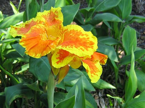 Home And Garden  Canna Indica