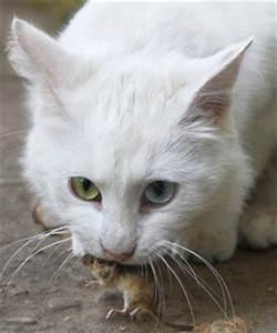 Weißer Wurm Katze : wei e katzen katzengenetik vererbung der fellfarben und fellmuster bei katzen ~ Markanthonyermac.com Haus und Dekorationen