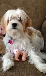 Best 25 Maltese Poodle Ideas On Pinterest Maltese