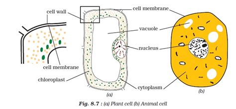 ncert class viii science chapter  cell structure