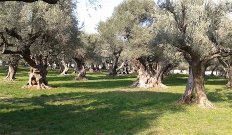 les jardins d ol 233 as la m 233 moire des oliviers