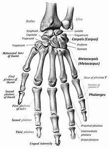 Skeletal System  U2013 Hands And Feet  U2013 Tensoku Ryu