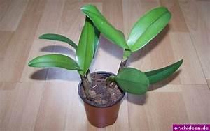 Luftwurzeln Bei Orchideen : cattleya orchidee vermehren durch teilung ~ Frokenaadalensverden.com Haus und Dekorationen