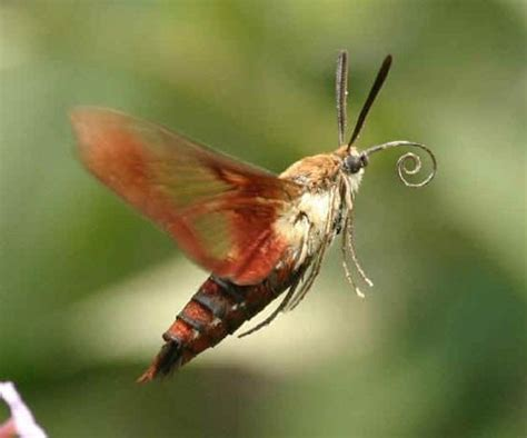 the hummingbird moth looks like it s name and flies like