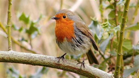 • simple and easy to use. Robin Bird Wallpaper for Android - APK Download